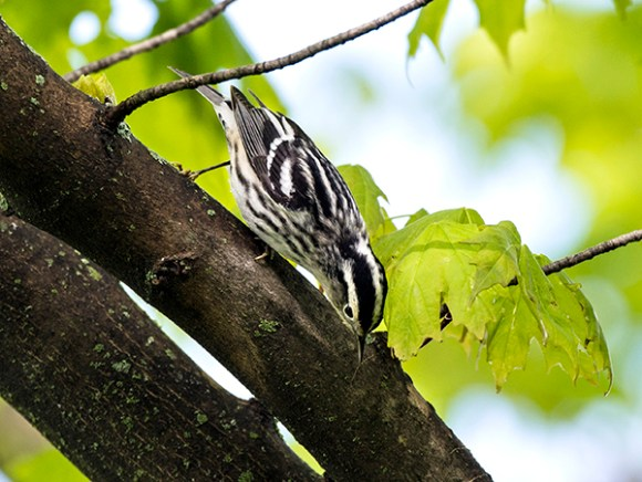 PHOTO: Black-and-white warbler.