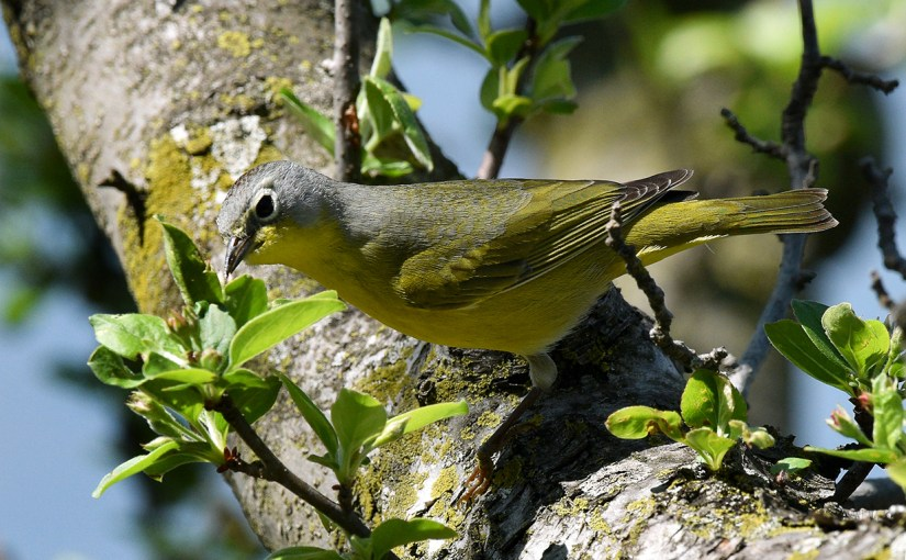 Warblers: Rock Star Migrators