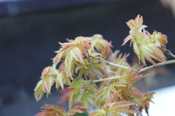 PHOTO: Opening bud on bonsai.