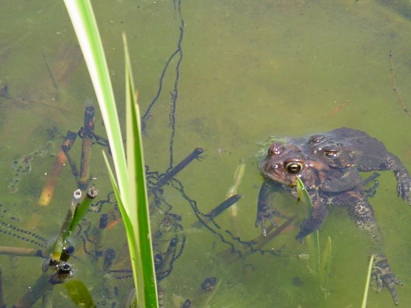 PHOTO: the toad pair are together in the water with a string of black eggs she has laid around the algae.