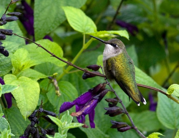 PHOTO: Hummingbird on salvia.