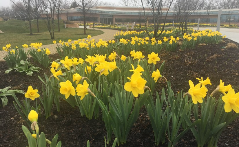 Daffodils in bloom at the Regenstein Learning Campus