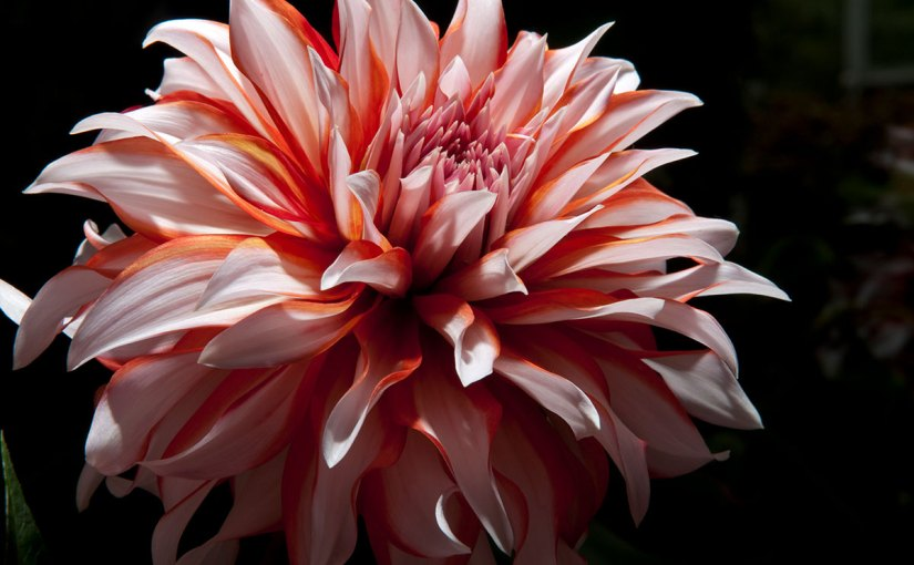 What is it about dahlias?
