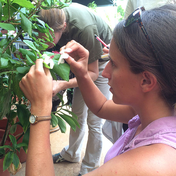 Research assistant Susan Deans uses neutral genetic markers to examine how well gardens and conservation collections capture the remaining wild genetic diversity of threatened Hawaiian plant species.