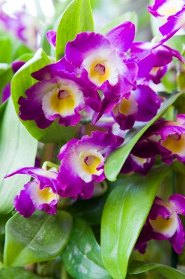 PHOTO: Dendrobium Comet King 'Akatsuki' orchid.