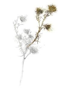 ILLUSTRATION: Bull thistle (Cirsium vulgare) by Derek Norman