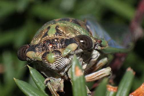 "PHOTO: Front ""face"" view of a cicada, showing 5 eyes."