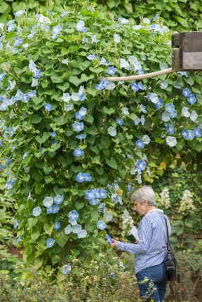 PHOTO: Blooming through late fall, the morning glory vines captivate visitors to the English Walled Garden.