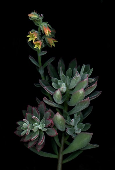 PHOTO: Echeveria 'Red velvet' photographed by Laurie Tennent.