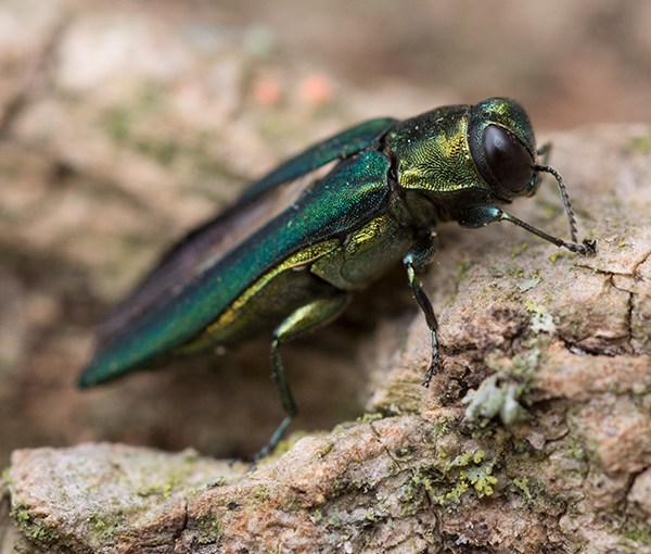 Emerald Ash Borer: Sad But True, Part 2