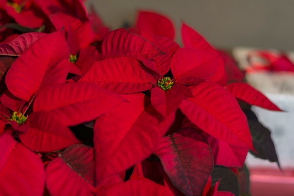 Jubilee Red poinsettia