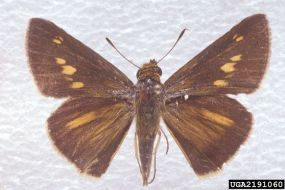 PHOTO: Euphyes dion by Charles T. and John R. Bryson, Bugwood.org.