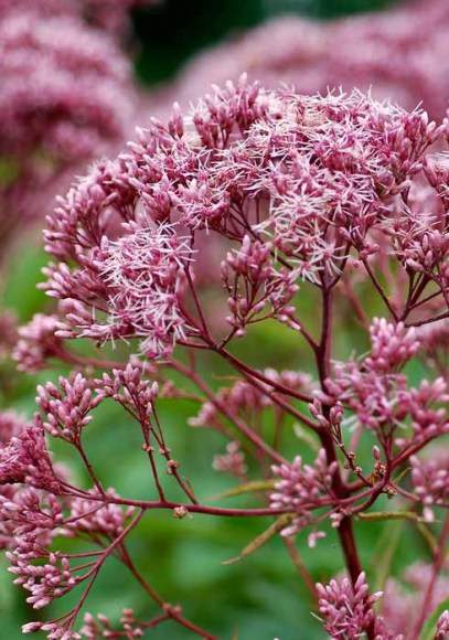 PHOTO: Closeup of a Joe-Pye weed in bloom.