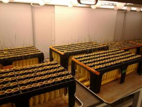 PHOTO: Seedlings in the growth chamber.
