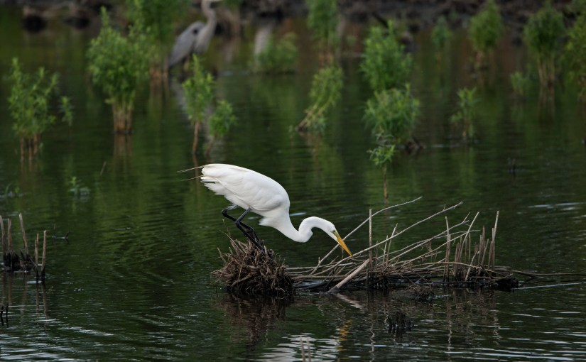 Great Egret: Graceful White Wader