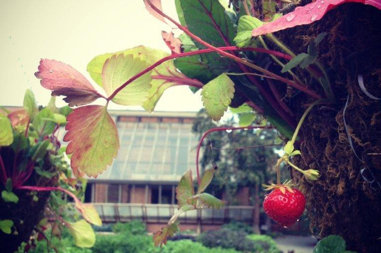 Homegrown Fruit: Tips for Strawberries and Raspberries