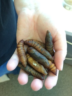 PHOTO: Hawkmoth pupae (Hyles lineata).