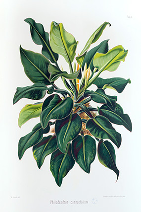ILLUSTRATION: Philodendron cannaefolium by Heinrich Schott