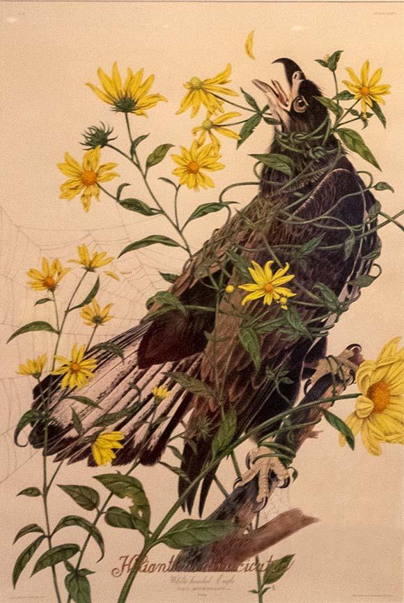 Helianthus divaricatus print from the Invasive Species series by Penelope Gottlieb