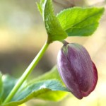 PHOTO: Helleborus orientalis in bud.