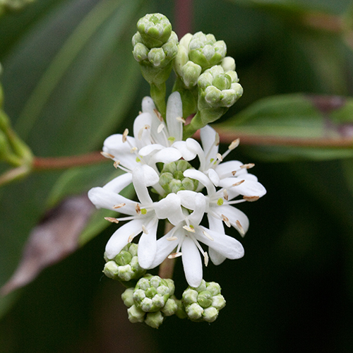 Heptacodium Miconioides, the Seven-Son Flower