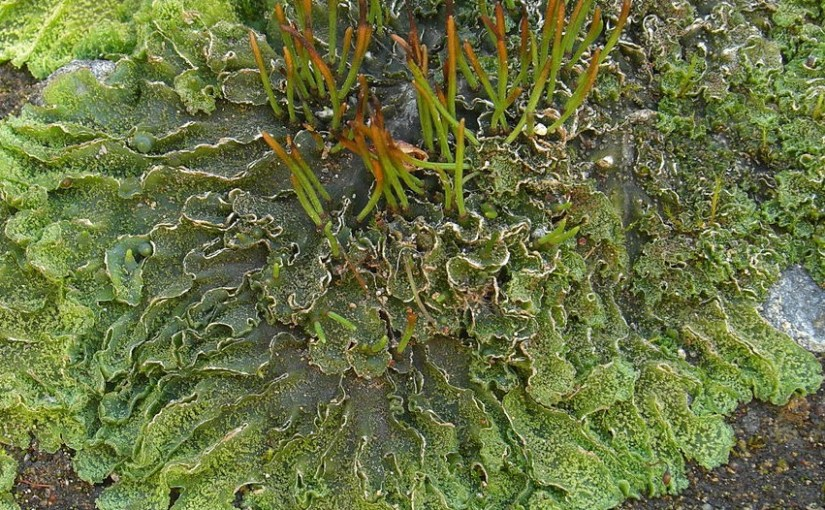 PHOTO: Hornwort.