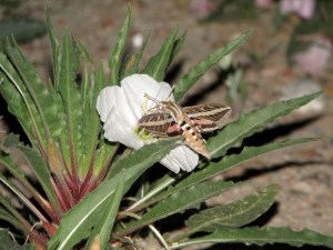 The white-lined sphinx moth drinks nectar from Harrington's evening primrose in Colorado.