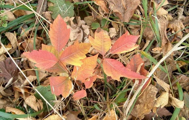 Recognizing Poison Ivy