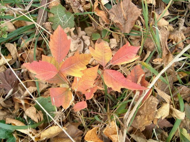 PHOTO: In this close up of poison ivy you can see the characteristic leaf shape and the brilliant fall color.