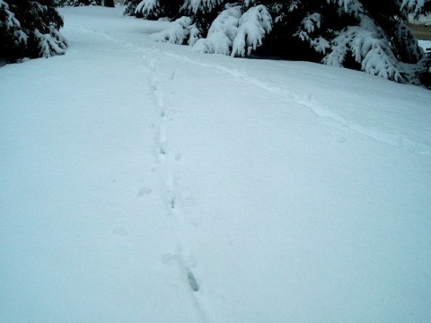 PHOTO: two coyote trails are seen very clearly running through the snow, close to the treeline.