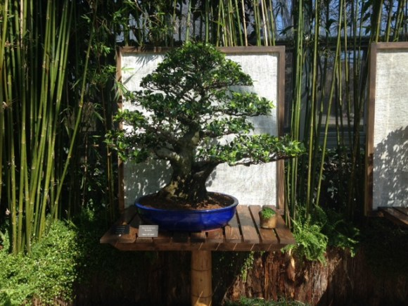 PHOTO: Chinese banyan (Ficus microcarpa) bonsai.