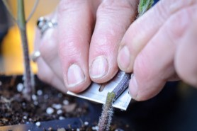 PHOTO: The scion is inserted into the rootstock of the tomato graft.