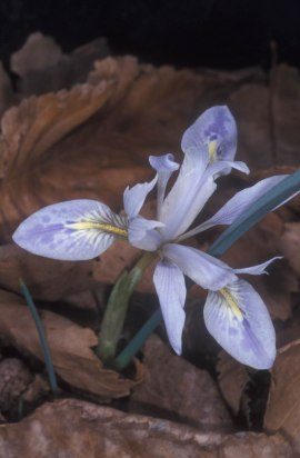 PHOTO: Iris vartanii ©Dr. Ori Fragman-Sapir
