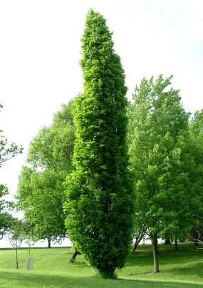 Kindred Spirit hybrid oak (Quercus x warei 'Nadler')