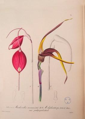 PHOTO: An illustration of Masdevallia coccinea from an illustrated book panel.