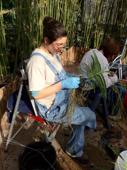 PHOTO: Horticulturist Liz Rex unravels Vanda roots.