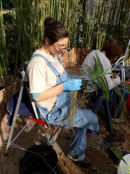 PHOTO: Horticulturist Liz Rex unravels Vanda roots.