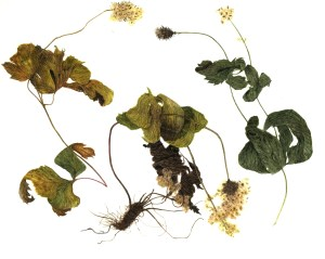 ILLUSTRATION: Thimbleweed (Anemone virginiana) by Lynne Railsback
