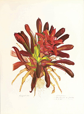 A Brazillian bromeliad by Margaret Mee