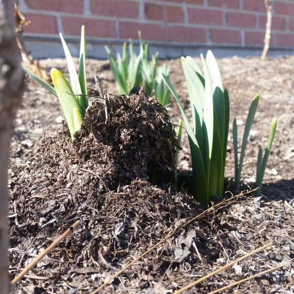 Daffodil leaves have pushed through the mulch, lifting it off the ground.