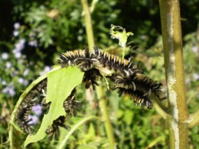 PHOTO: Euchaetes egle (Milkweed tussock moth).
