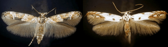 PHOTO: Mompha stellella and M. eloisella moths