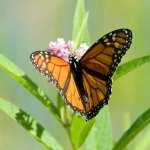PHOTO: Monarch butterfly drinks nectar from common milkweed.