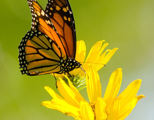 Trouble for Monarchs — But You Can Help