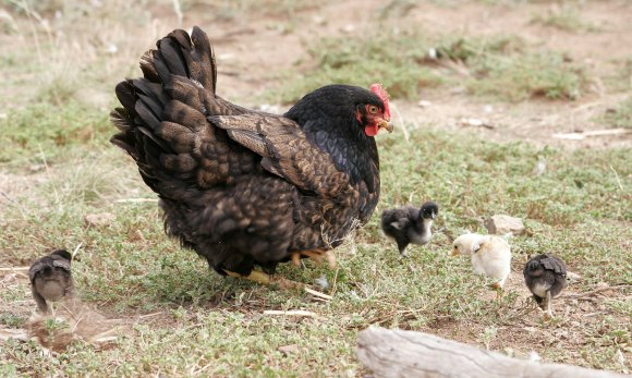 PHOTO: A mother hen teaches her chicks to forage.