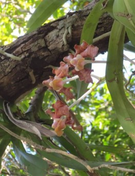 PHOTO: Peach-colored epiphytic orchids wrap their roots around a branch.