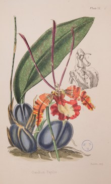 ILLUSTRATION: Oncidium papilio