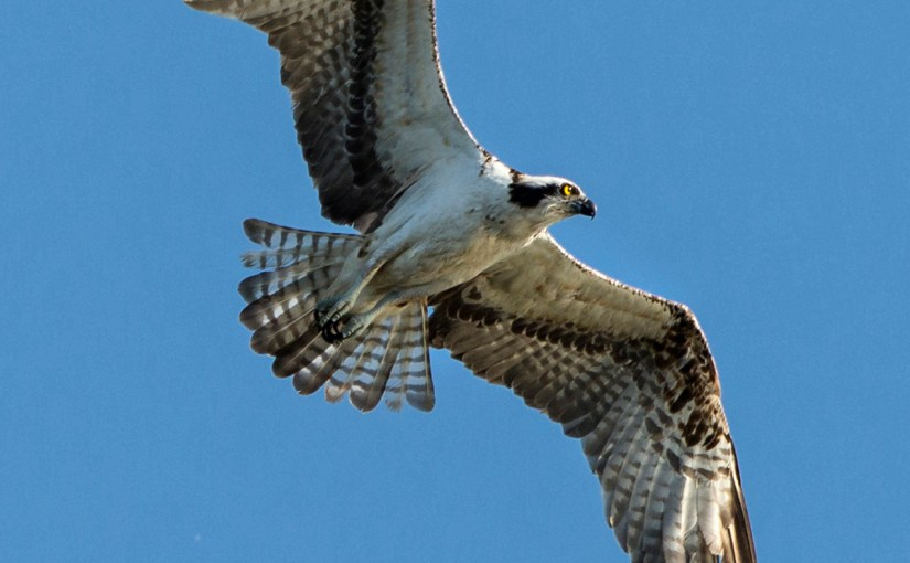 PHOTO: Osprey in flight.