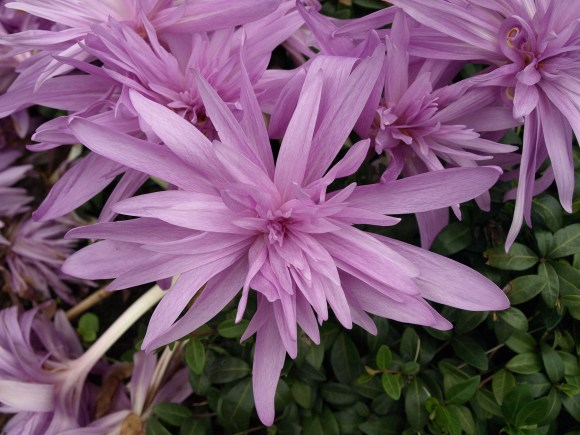 PHOTO: Colchicum 'Waterlily'