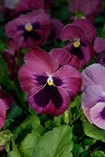 Pansy (Viola x wittrockiana 'Matrix')